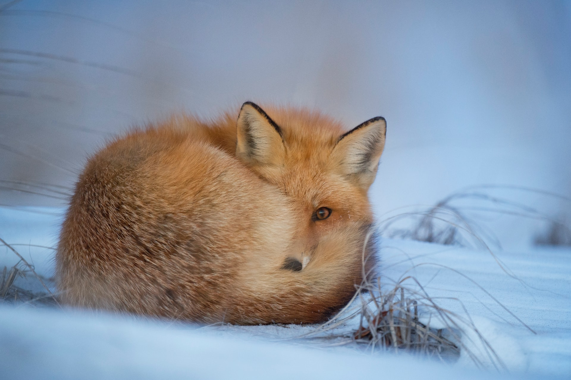 Fuchs-im-Winter.jpg