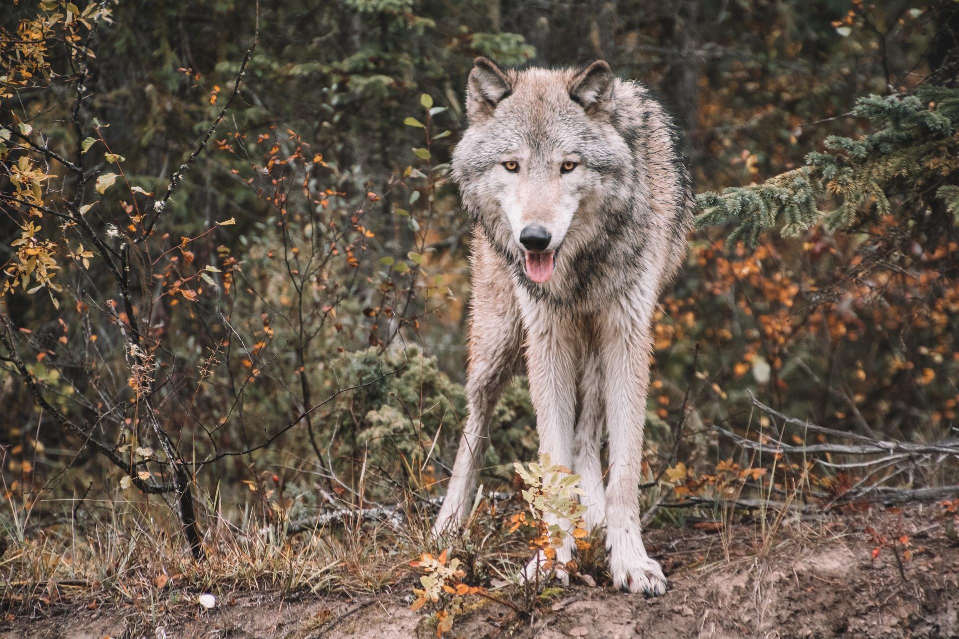 Grauwolf.jpg
