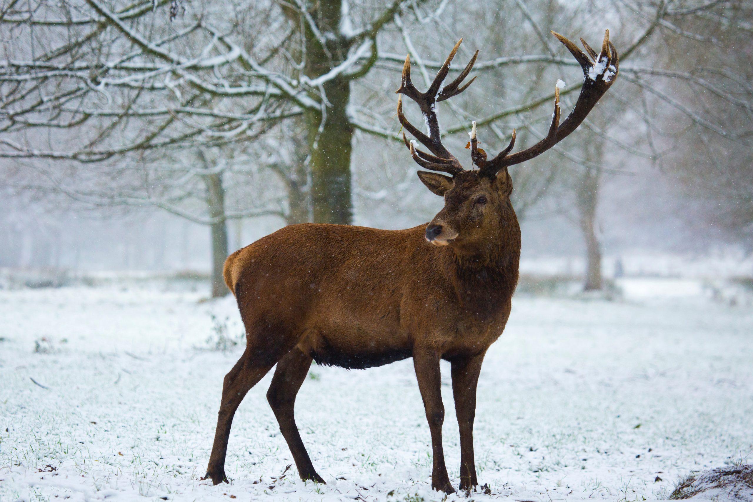 Hirsch-im-Winter-scaled.jpg