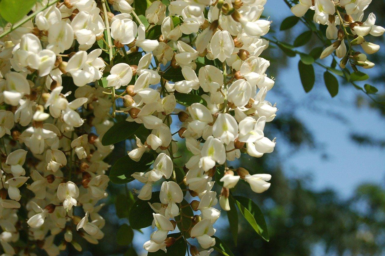 Robinie-Blüten.jpg